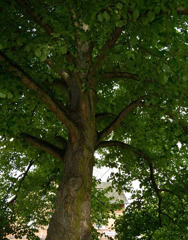 Die 4500 Bäume in Münster – hier ein prächtiges Exemplar am Bahnhof – müssen ständig gepflegt werden.