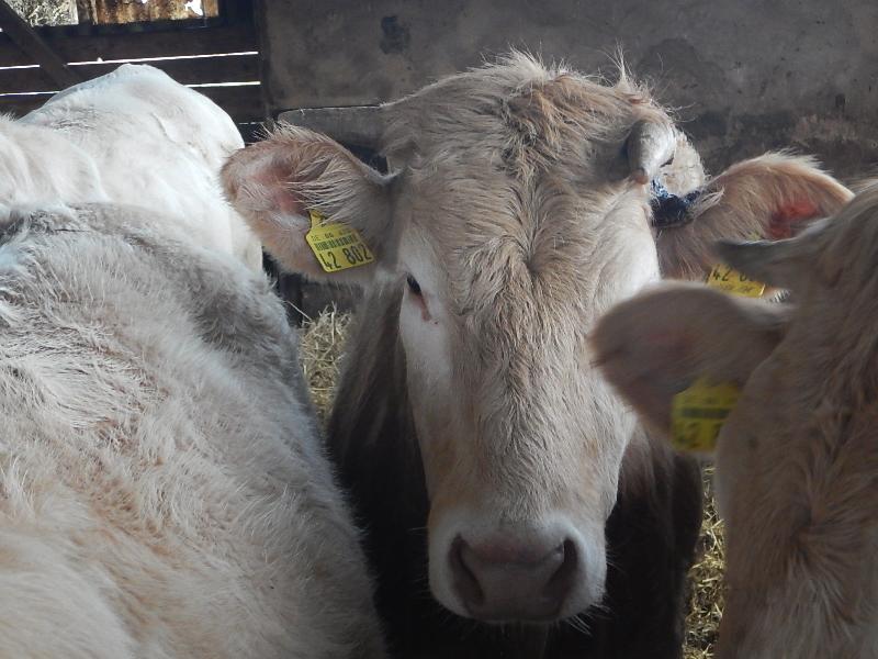 Einem Rind von Landwirt Günter Huther auf seinem Hof Auf der Beune ist in der Silvesternacht das Horn abgebrochen – vermutlich, weil es im Stall mit zehn Tieren zu panischem Gerangel kam. Direkt neben dem Stall fand Huther abgebrannte Feuerwerkskörper und Leuchtbatterien. Foto: GM