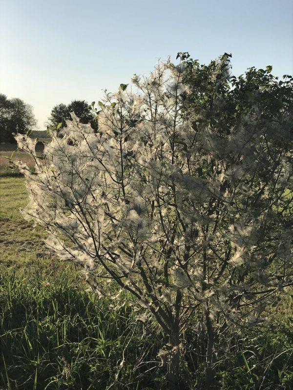 Vielerorts sehen Bäume und Sträucher derzeit so aus. Die Gespinstmotte ist allerdings ungiftig und harmlos. Foto: GM/Meike Mittmeyer-Riehl