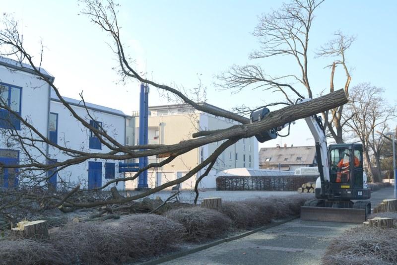 """Die Bäume an der Kulturhalle Münster müssen weichen - Spätfolgen von Sturm """"Fabienne"""". Foto: GM/Meike Mittmeyer-Riehl"""