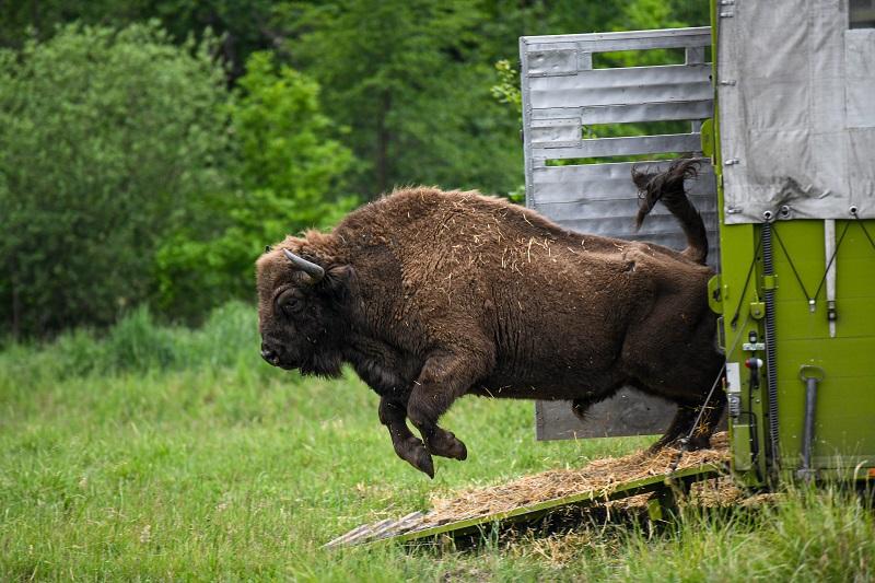 """Wisent-Bulle """"Shakal"""" macht die Herde auf dem """"Muna""""-Gelände komplett. Die Tiere gewöhnen sich nun in Ruhe ein und können in Zukunft auch von Besucher/innen beobachtet werden. Derzeit ist dies von außen noch nicht möglich. Foto: Christoph Göbel"""