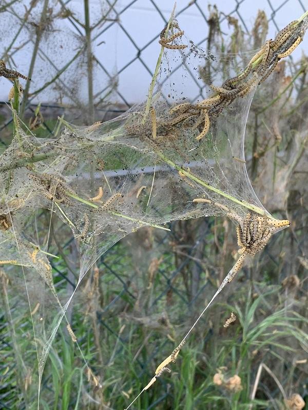 Gespinstmotten überziehen Sträucher und Büsche mit dichten, weißen Netzen. Foto: GM/Meike Mittmeyer-Riehl
