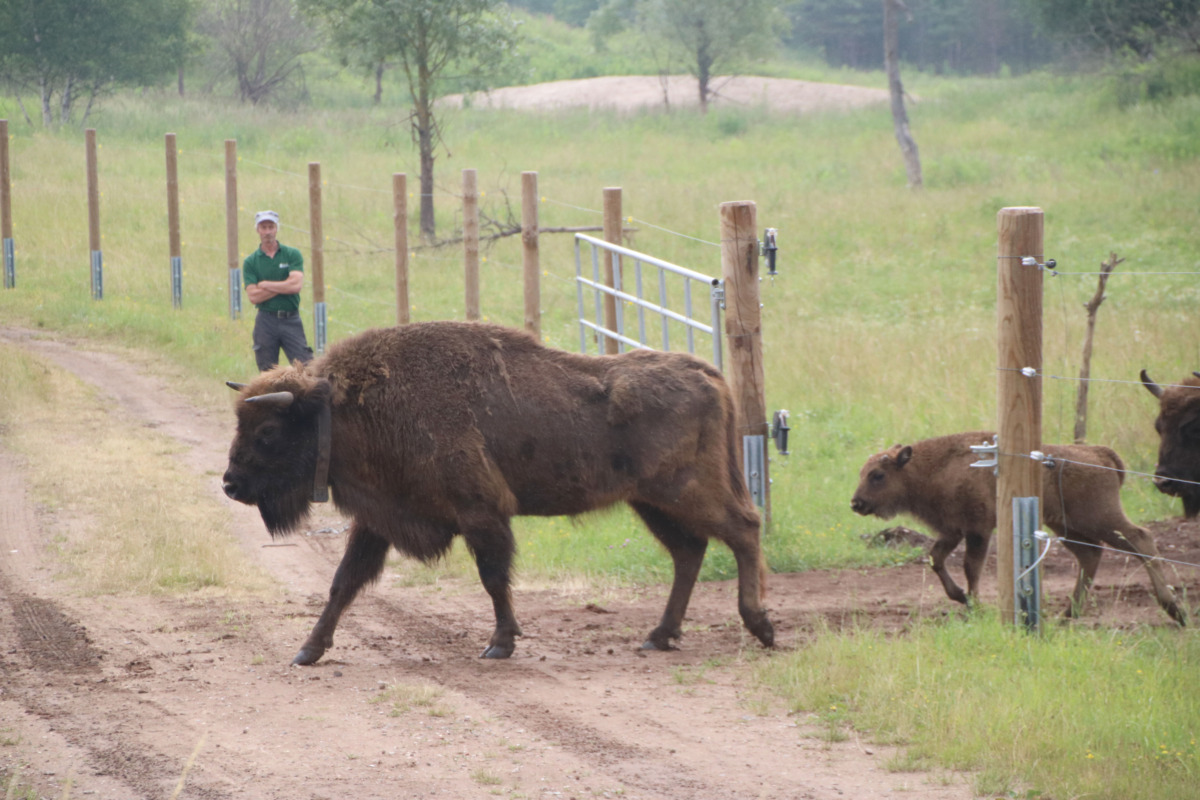 Angeführt von einer der Leitkühe darf die Wisent-Herde erstmals das Eingewöhnungsgehege verlassen. Eines der im Mai geborenen Jungtiere springt mutig hinterher. Foto: GM/Meike Mittmeyer-Riehl